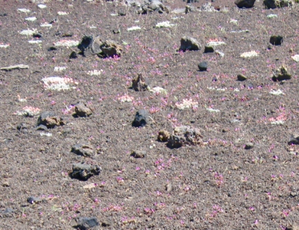 28 lava flowers.jpg