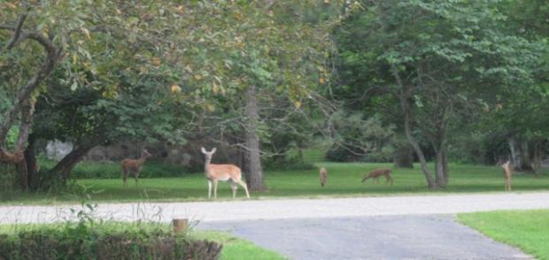 deer 2 cropped