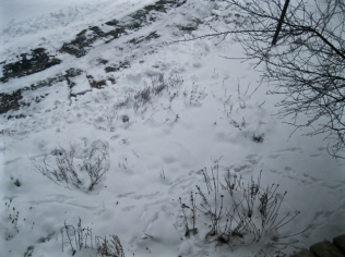 deer tracks two