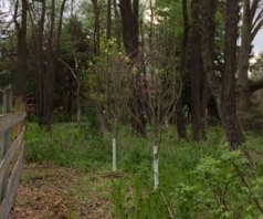 recovering dogwoods