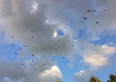 turkey vultures – Version 2
