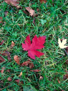 red one leaf