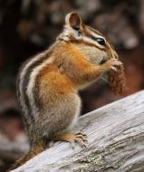 wikipedia chipmunk