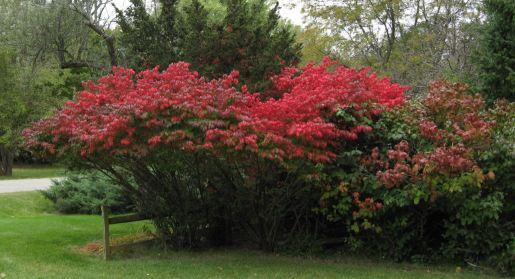 Burning Bush Topiary