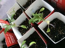 april tomatoes