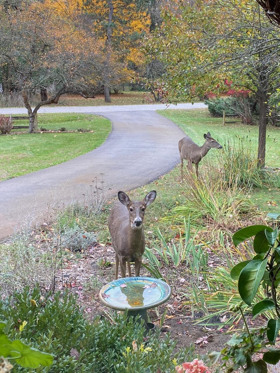 birdbath deer