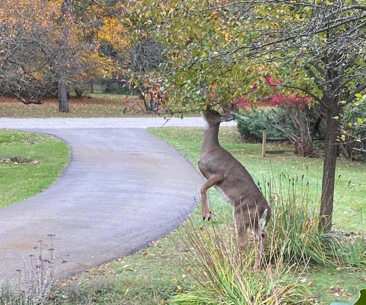 deer chomping
