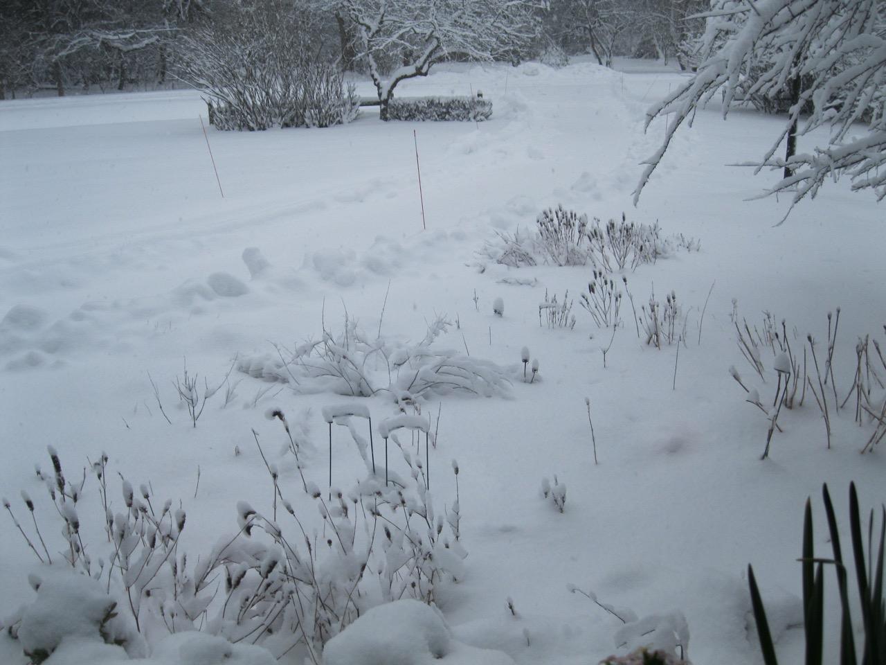 snowy agastache