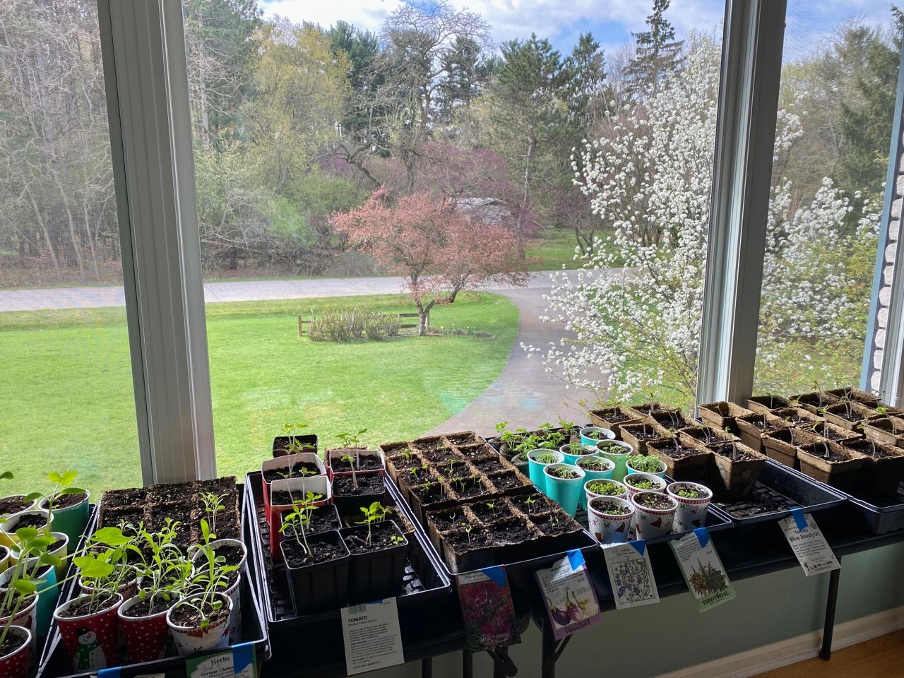 seedlings in window