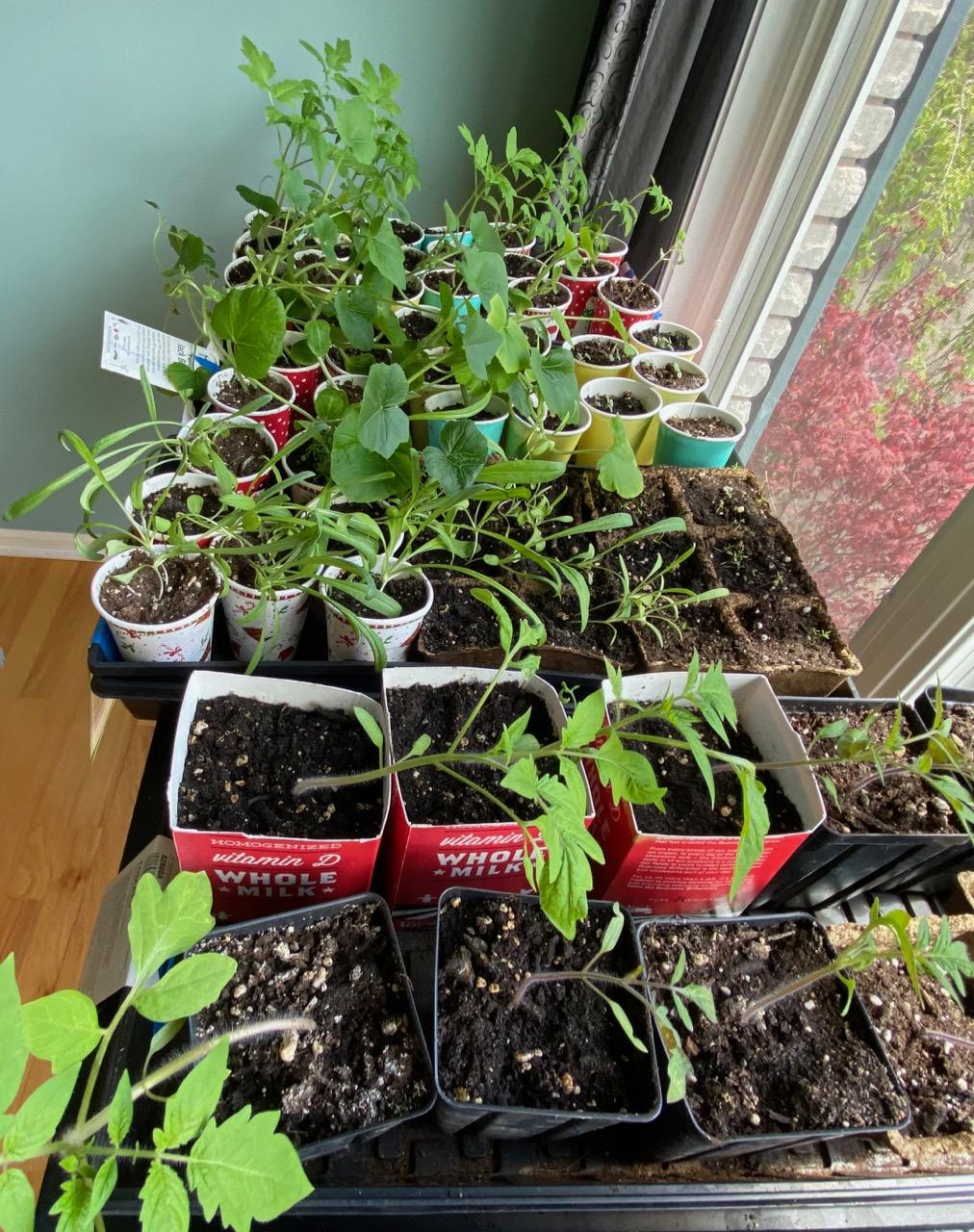 tomato babies