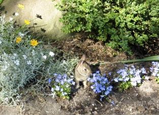 b bunny