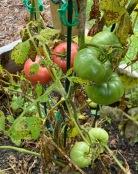 b tomatoes
