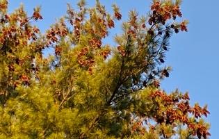 blog pinetree
