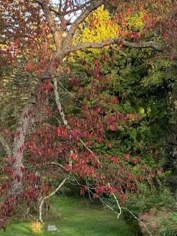 b cherry fall