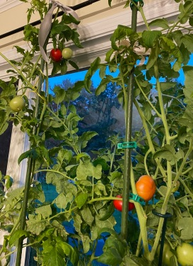 hothouse tomatoes – Version 2